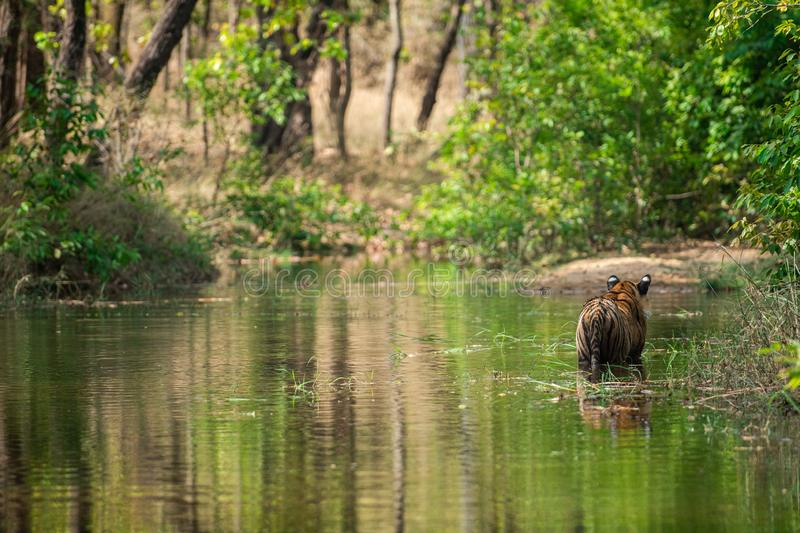 Royal bengal male tiger resting and cooling off in water body. Animal in green forest and in nature habitat at bandhavgarh. Royal bengal male tiger resting and royalty free stock photo