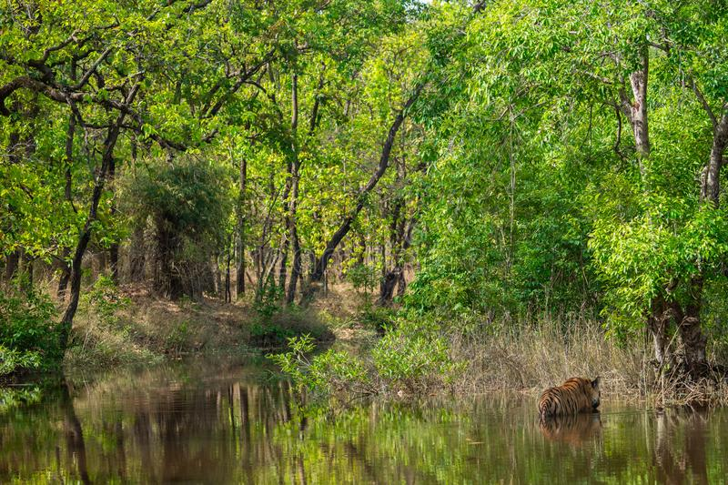 Royal bengal male tiger resting and cooling off in water body. Animal in green forest and in nature habitat at bandhavgarh. Royal bengal male tiger resting and royalty free stock images