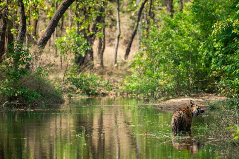 Royal bengal male tiger resting and cooling off in water body. Animal in green forest and in nature habitat at bandhavgarh royalty free stock photography