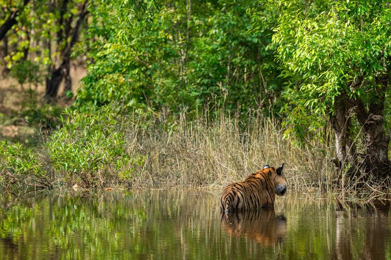 Royal bengal male tiger resting and cooling off in water body. Animal in green forest and in nature habitat at bandhavgarh. Royal bengal male tiger resting and stock image