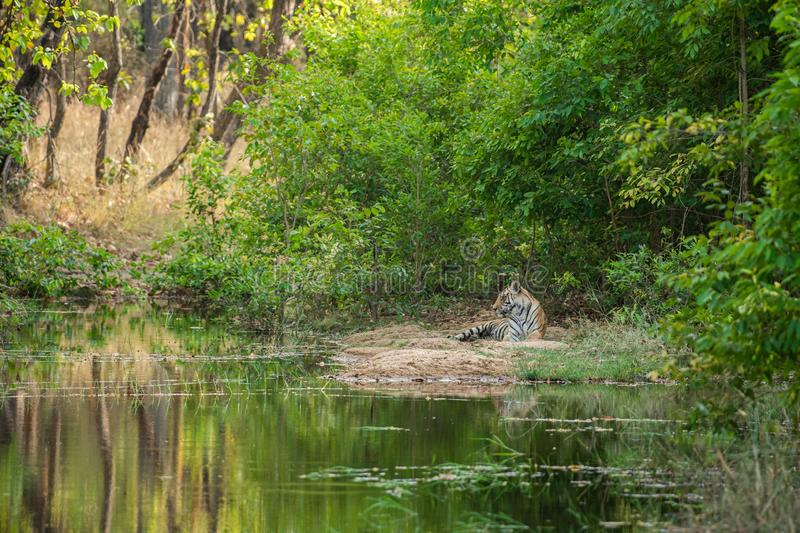 Royal bengal male tiger resting near water body. Animal in green background near forest stream at bandhavgarh national park, india royalty free stock images
