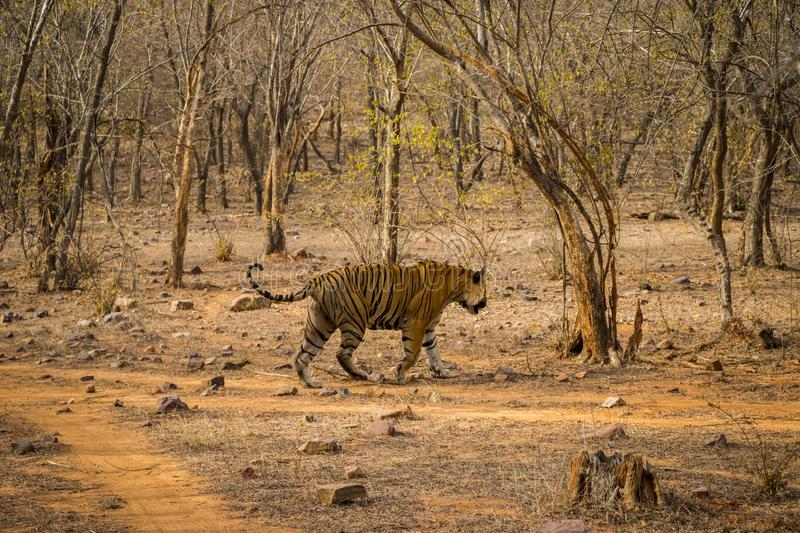 A royal bengal male tiger on stroll for scent marking in his territory. roaming in jungle crossing road. A side profile of tiger. At ranthambore national park royalty free stock image