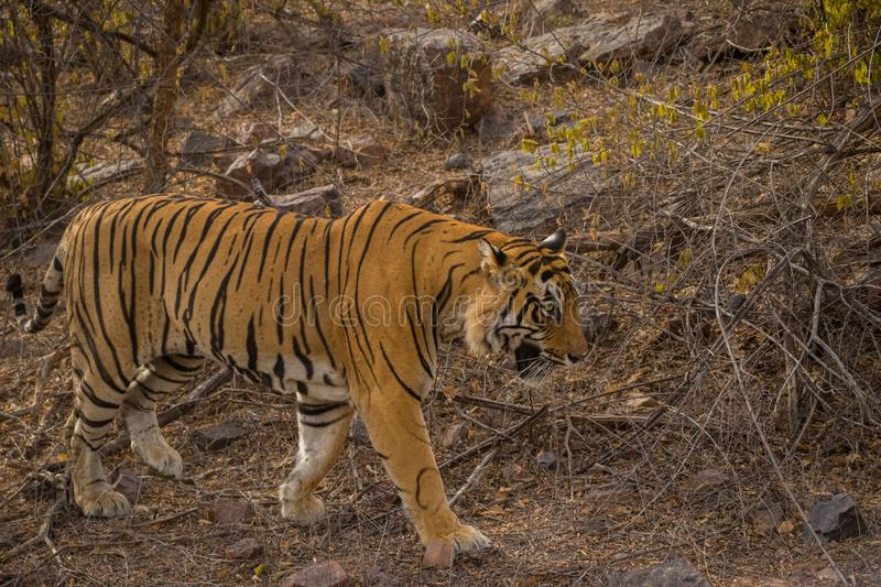 A royal bengal male tiger on stroll for scent marking in his territory. roaming in jungle crossing road. A side profile of tiger stock photo
