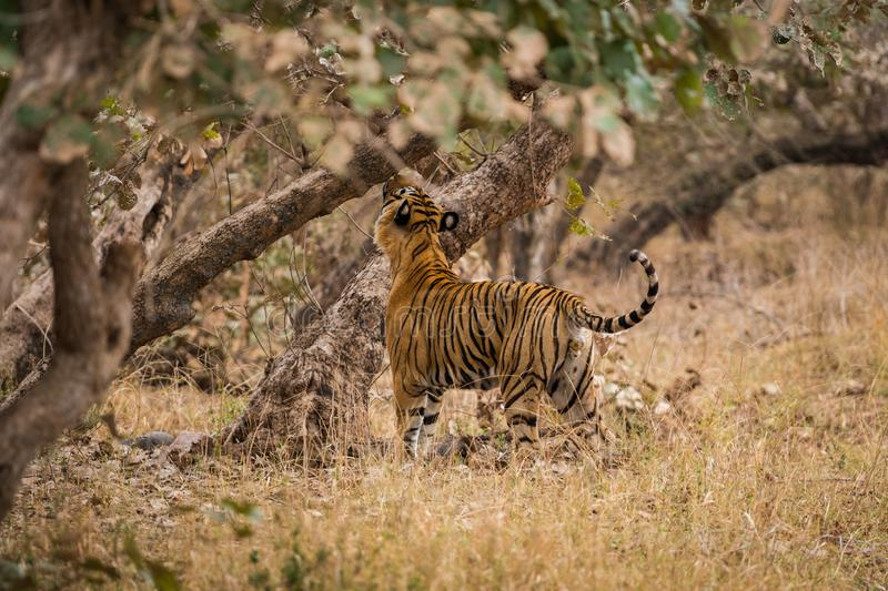 A royal bengal male tiger on stroll for scent marking in his territory. roaming in jungle crossing road. A side profile of tiger. At ranthambore national park stock photo