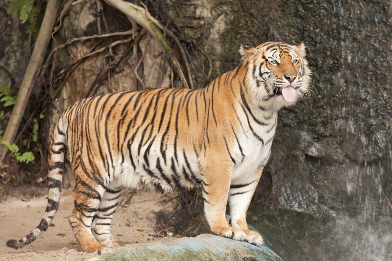 Download Royal Bengal tiger stock image. Image of eyes, aggressive - 23581903