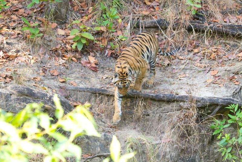 Royal bengal tiger of Bandhavgarh national park India. Wildlife, conservation royalty free stock photography
