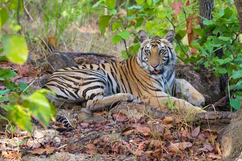 Royal bengal tiger of Bandhavgarh national park India. Wildlife, conservation stock photos
