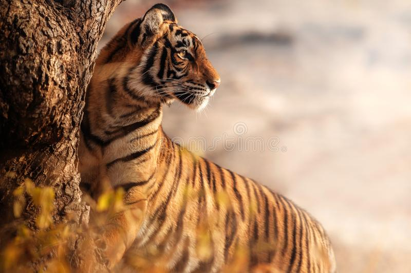 Royal bengal tiger on a beautiful golden background. Amazing tiger in the nature habitat. Wildlife scene with dangerous beast. Hot stock photography
