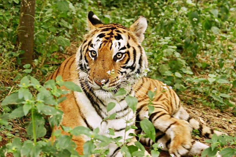 Royal Bengal Tiger India. Royal Bengal Tiger in the jungle India royalty free stock image