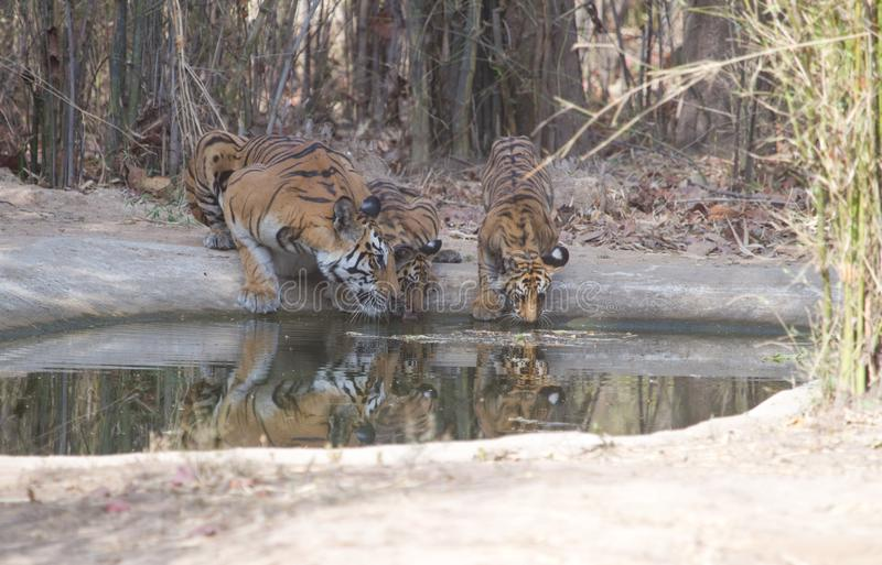 Royal Bengal Tiger and little cubs drinking water from a waterhole in jungle royalty free stock photo