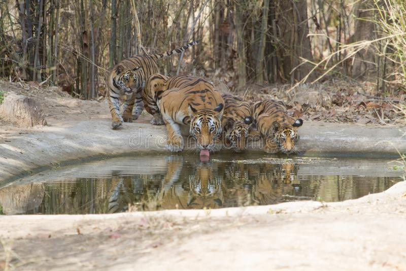 Royal Bengal Tiger and little cubs drinking water from a waterhole in jungle royalty free stock images