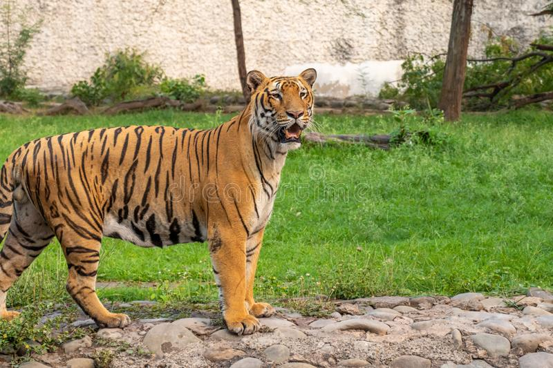 Royal Bengal Tiger. Looking into the distance at Zoo stock images