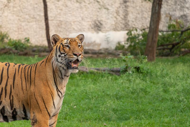 Royal Bengal tiger Looking into the distance at Zoo. Logical Park royalty free stock photo