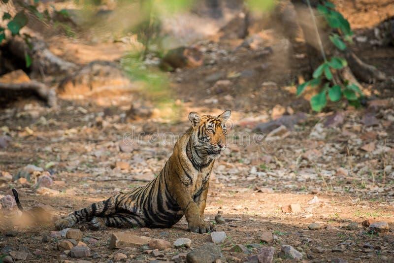 Royal bengal tiger portrait in natural habitat at ranthambore. A Royal bengal tiger in the nature habitat. Tiger during the golden light time. Wildlife scene royalty free stock images