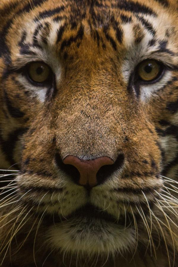 Royal Bengal Tiger Portrait royalty free stock photo