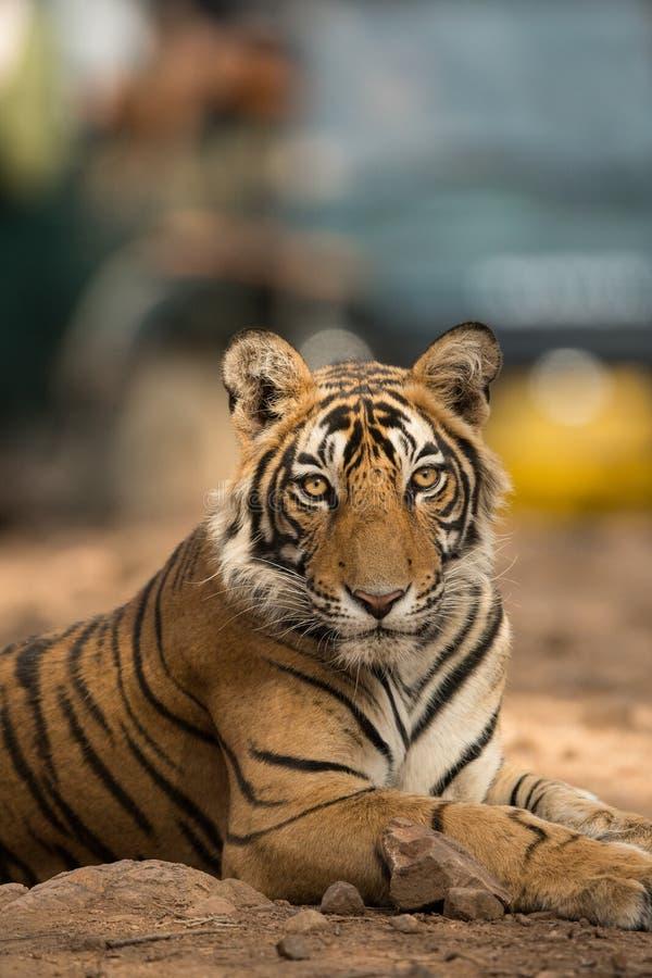 Royal bengal tiger portrait, ranthambore tiger reserve, rajasthan, india. A closeup of royal bengal tiger face a portrait, ranthambore tiger reserve, rajasthan stock photos