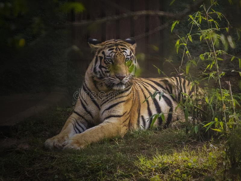 The Royal Bengal Tiger stock photography