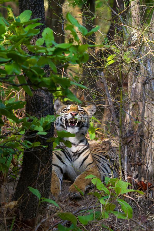 Royal bengal tiger showing dangerous canines royalty free stock photos