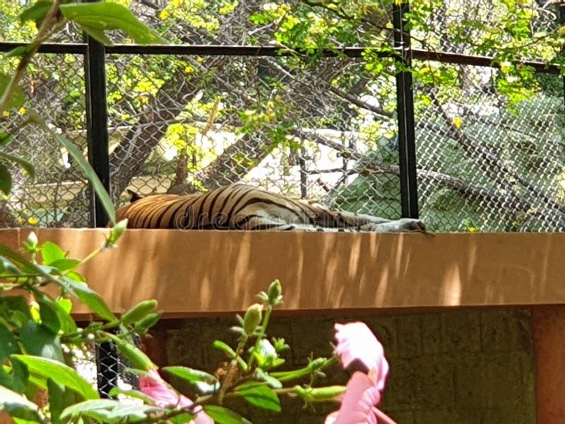 Royal Bengal tiger sleeping in a calm royalty free stock photos
