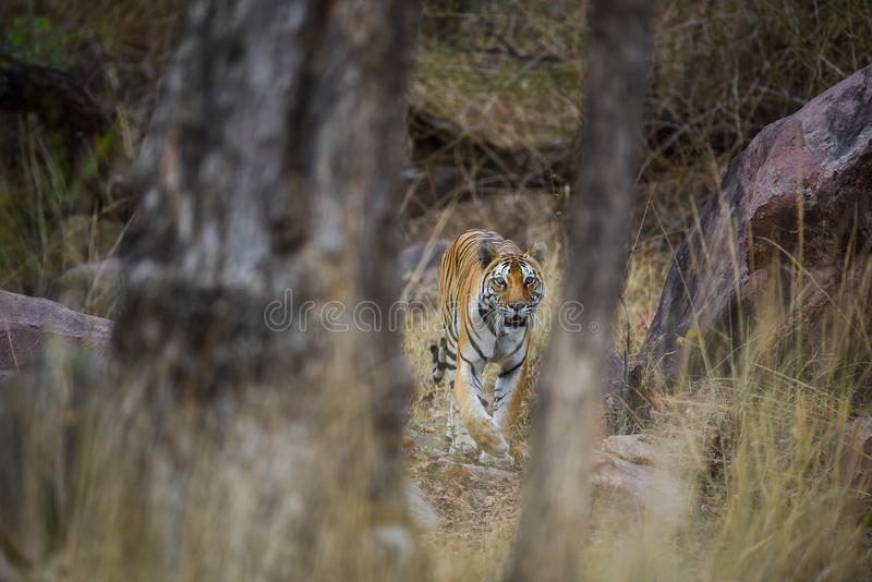A royal bengal tiger on stroll for scent marking in his territory. A head on shot of a pregnant tigress at kanha national park royalty free stock images