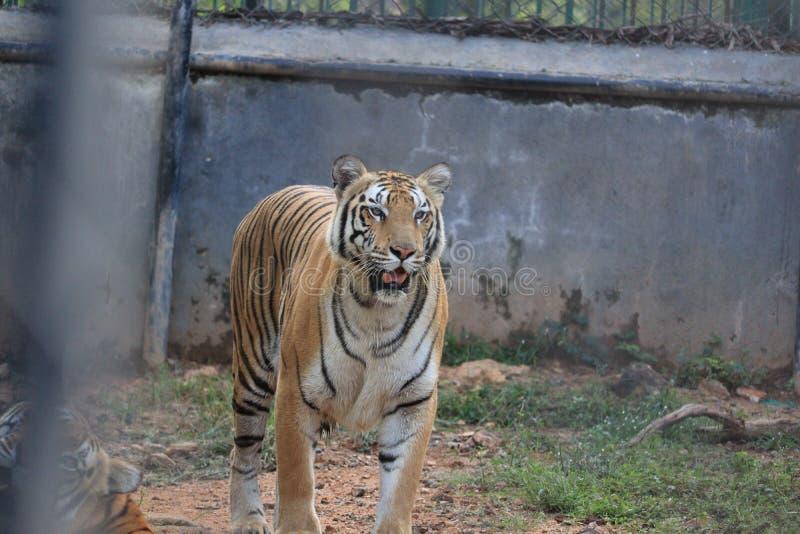 Royal Bengal Tiger immagine stock libera da diritti