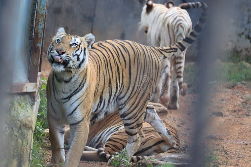 Royal Bengal Tiger fotografie stock