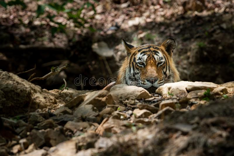 Royal bengal wild male tiger portrait with an eye contact at ranthambore. A dashing and handsome looking royal bengal wild male tiger portrait with an eye royalty free stock image