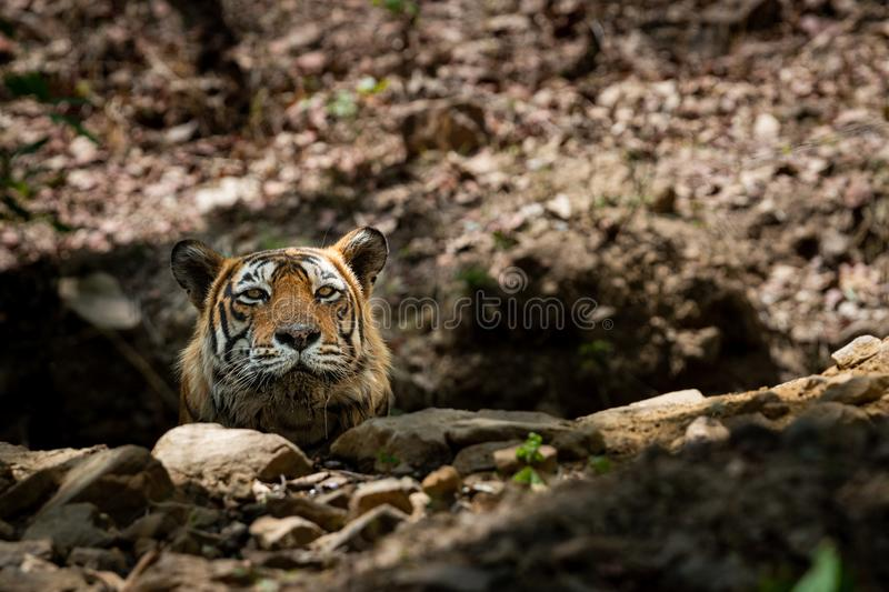 Royal bengal wild male tiger portrait with an eye contact at ranthambore stock photography