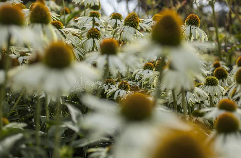 Royal Botanic Gardens, Kew, London, Reino Unido - flores com centro amarelo; um erro imagem de stock royalty free