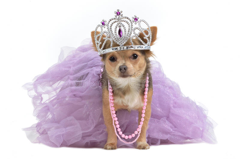 Royal dog with crown stock photos