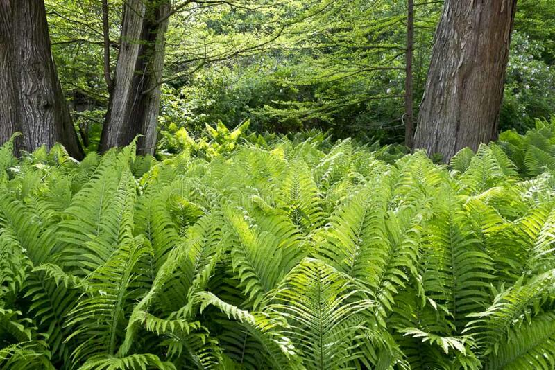 Royal fern bed under tree canopy stock photo