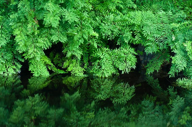 Royal fern with reflection Osmunda spectabilis. Beautiful green Royal fern Osmunda spectabilis at waters edge with reflections royalty free stock images