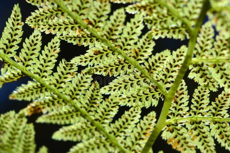 Royal Fern spores stock photos