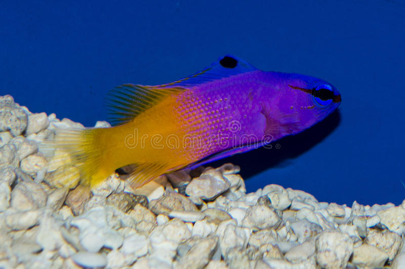 Royal Gramma Basslet. The Royal Gramma Basslet brings an explosion of color to any saltwater aquarium. It has a bright purple to violet colored anterior stock photo