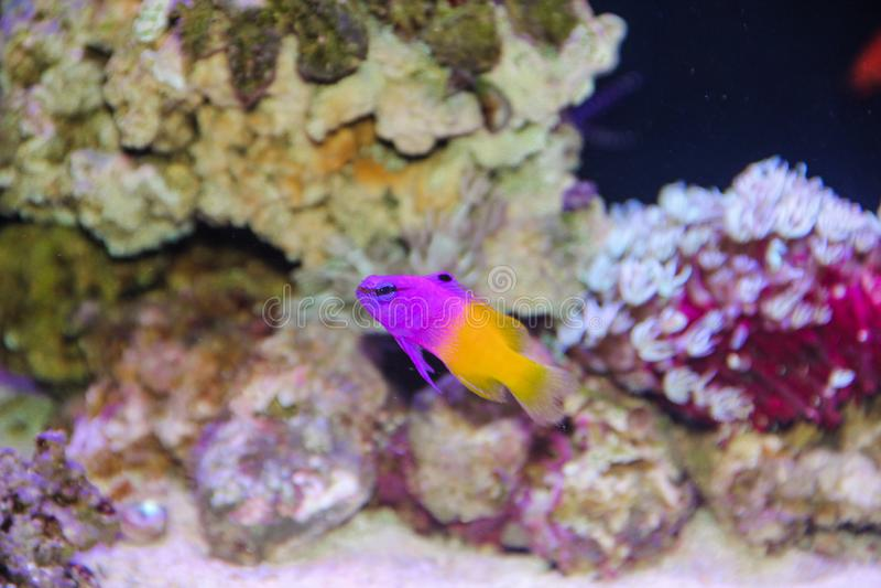 Royal Gramma fish royalty free stock photography