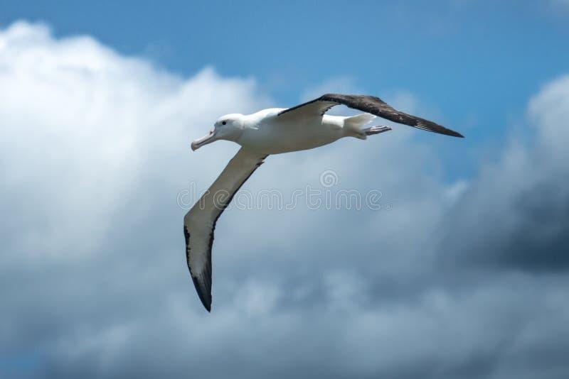 Royal lbatross in flight royalty free stock images