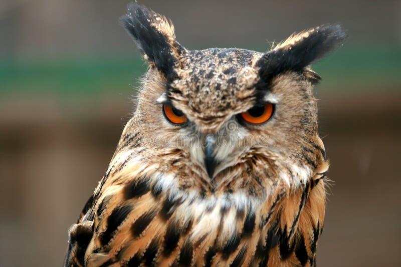 Royal Owl royalty free stock photos