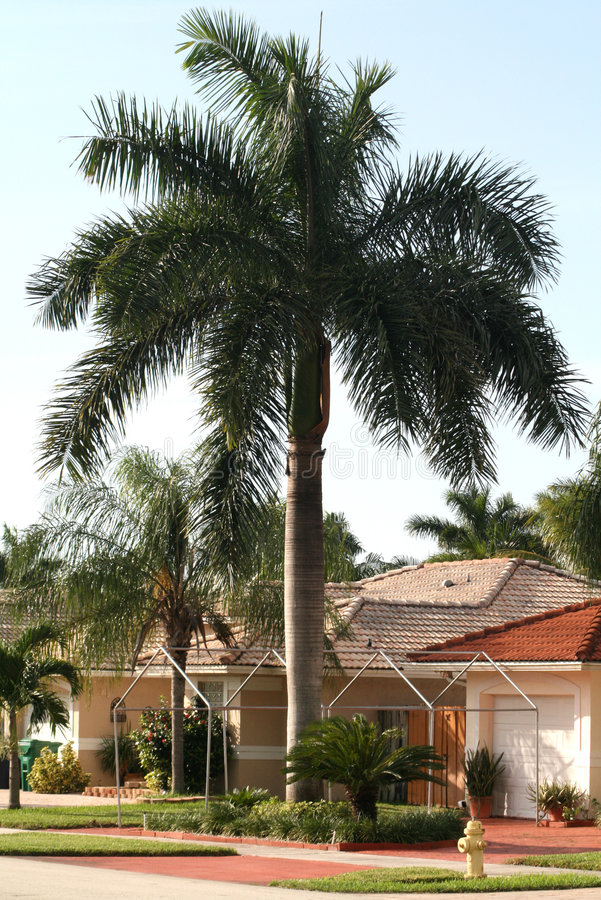 Royal palm_1 stock photography