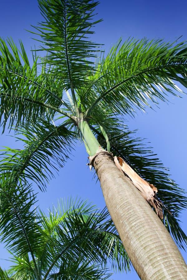 Royal Palm (Roystonea regia) stock photos