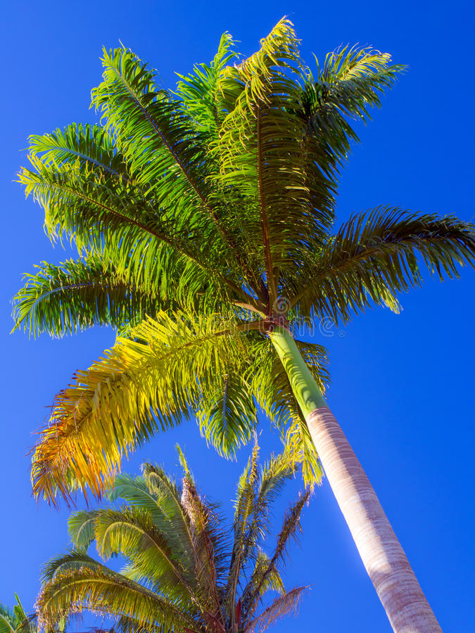 Royal palm. Tree with blue sky in the background -Archontophoenix cunninghamiana royalty free stock photos