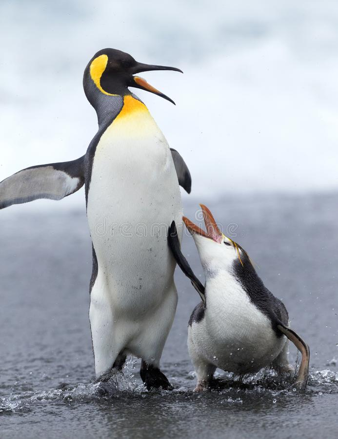 Royal Penguin and King Penguin stock photo
