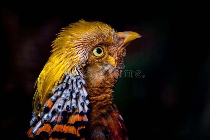 Royal Pheasant portrait royalty free stock images