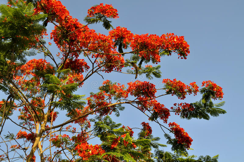 Download Royal Poinciana stock image. Image of bright, garden - 23327133