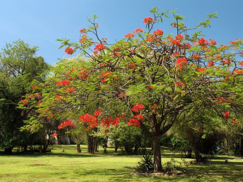Download Royal Poinciana In Bloom - 1 Stock Image - Image: 2364505