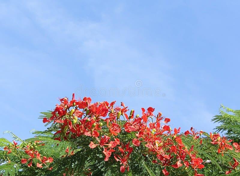 Royal Poinciana Tree 1 royalty free stock photos