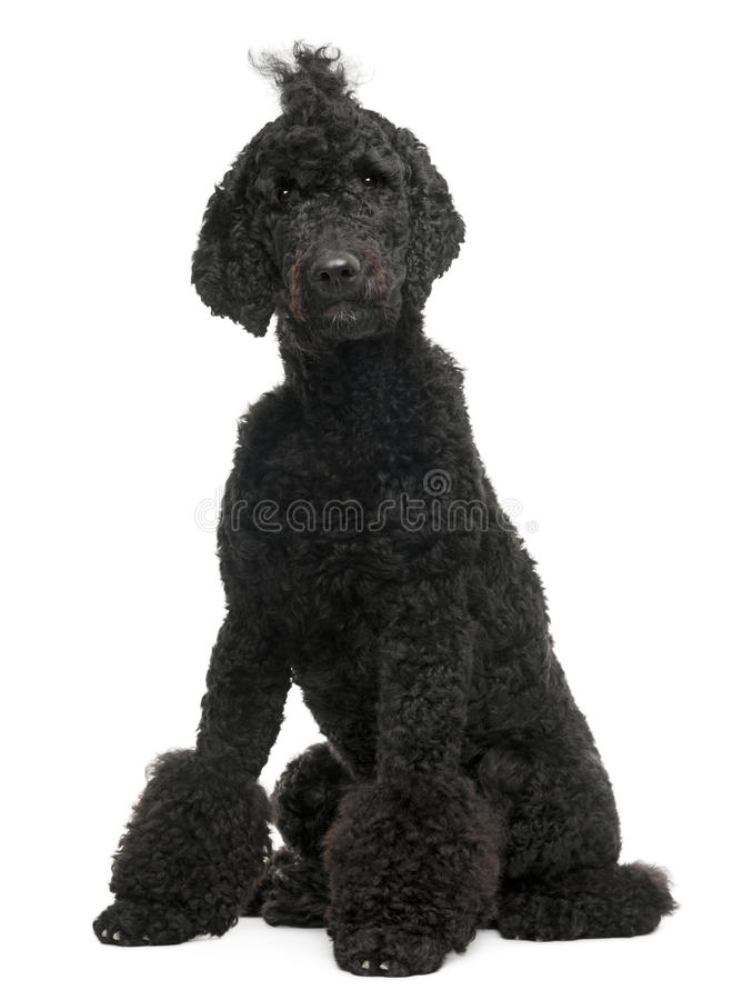 Royal Poodle, 1 year old, sitting royalty free stock photo
