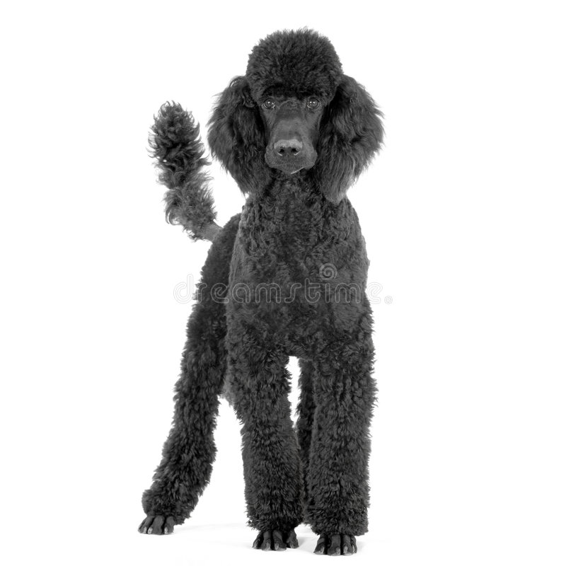Royal Poodle. Poodle in front of white background stock images