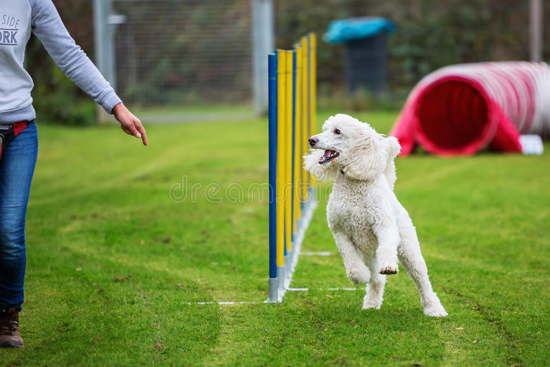 Royal poodle at an agility course. Royal poodle running a slalom at an agility course royalty free stock photo