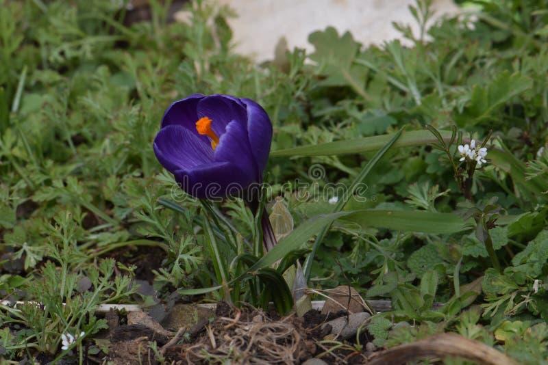 Purple Petaled Crocus Flower. Royal Purple petaled Crocus flower on green foliage background stock image