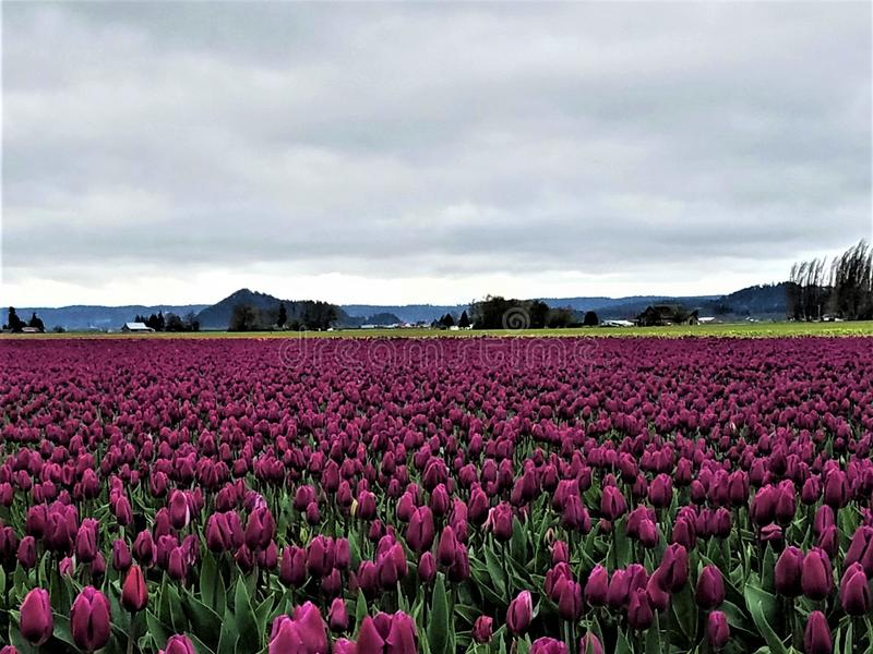 A Sea of Royal Purple Tulips. Royal purple tulips in Skagit Valley, north of Seattle, Washington. Hovering storm clouds don`t dim their beauty stock image